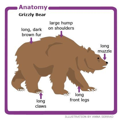 Anatomy Of The Grizzly Bear Grizzly Bear Facts Bear Facts For