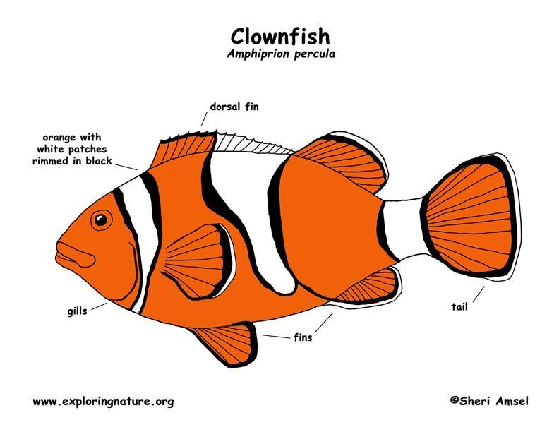 Clown fish info card | Sea Creature Cards | Pinterest