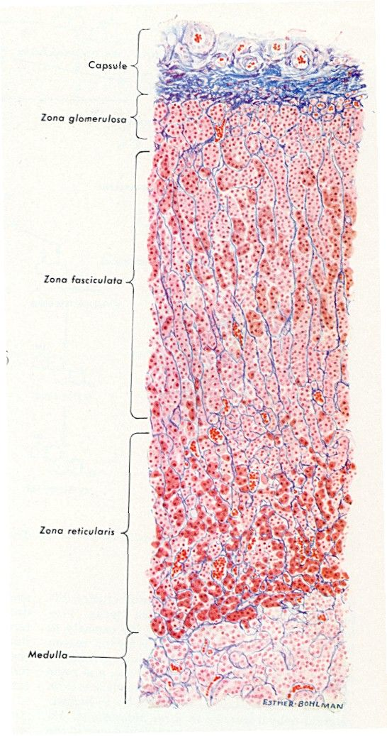 Adrenal Gland Slide Adrenal Gland Ap2 Pinterest Adrenal