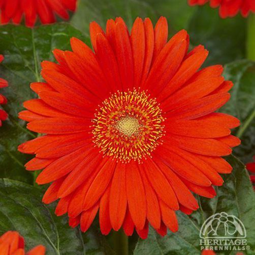 Gerbera Garvinea Sweet Glow Fleurs Annuelles Fleurs Annuelle