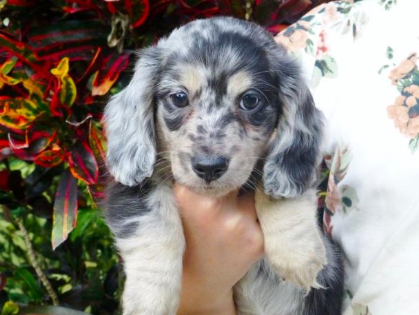 Good Breeder Gina S Cuddly Doxies Doxie Dachshund Puppy Dachshund