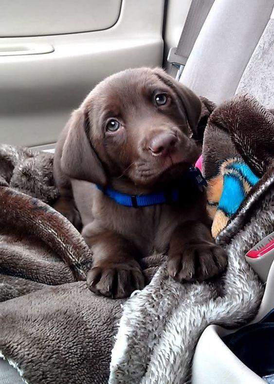 Photo of Labrador Puppy 💖 – #dogs #dogs #hunde #Labrador #Puppy