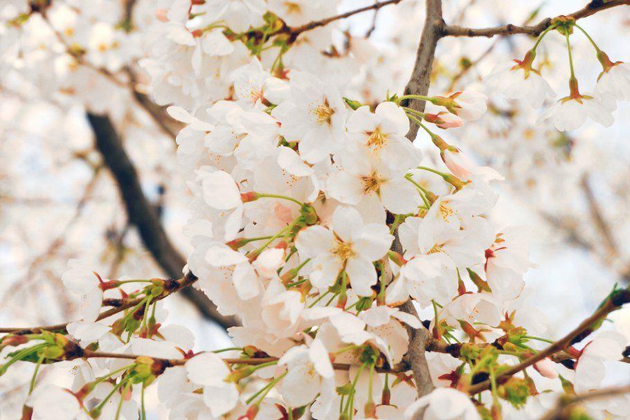 White Cherry Blossoms Sponsored Cherry White Blossoms Korea White Cherry Blossom Cherry Blossom White Cherries