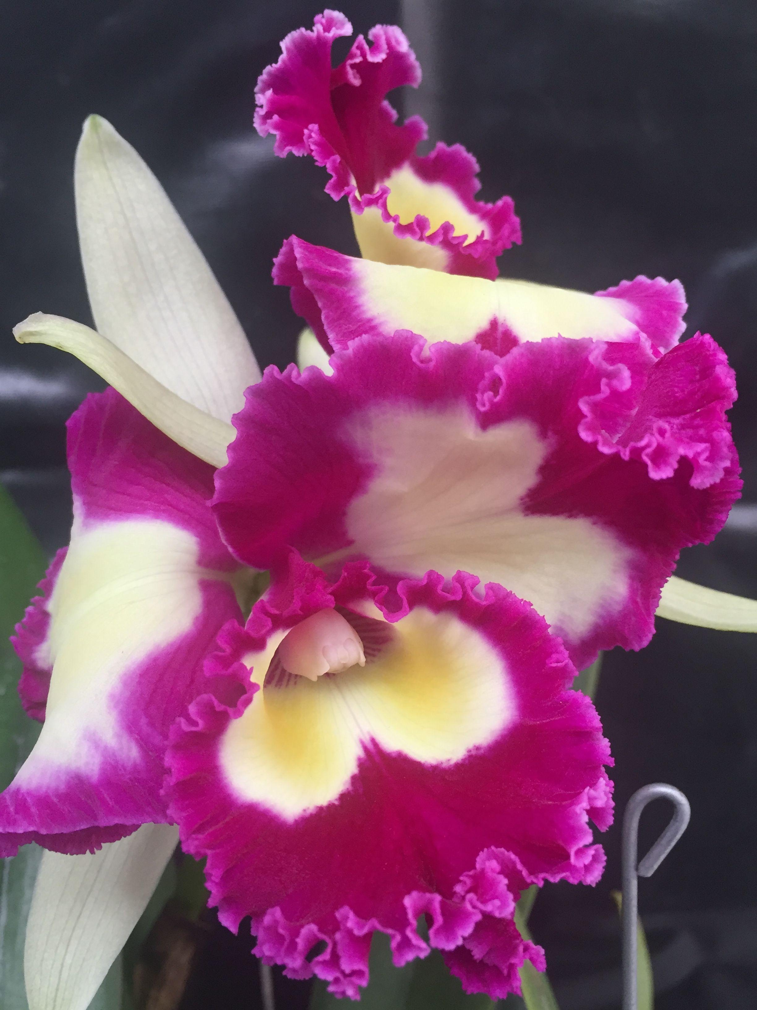 Orquídea Cattleya Rlc Blc Chinese Beauty Caprichosa Flores