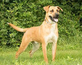 Hi everyone Im Ace I am a breed called BlackMouth Cur and Im an energetic and friendly 1 year and 4 month boy looking for someone to be a best friend to City Waifs Hi eve...