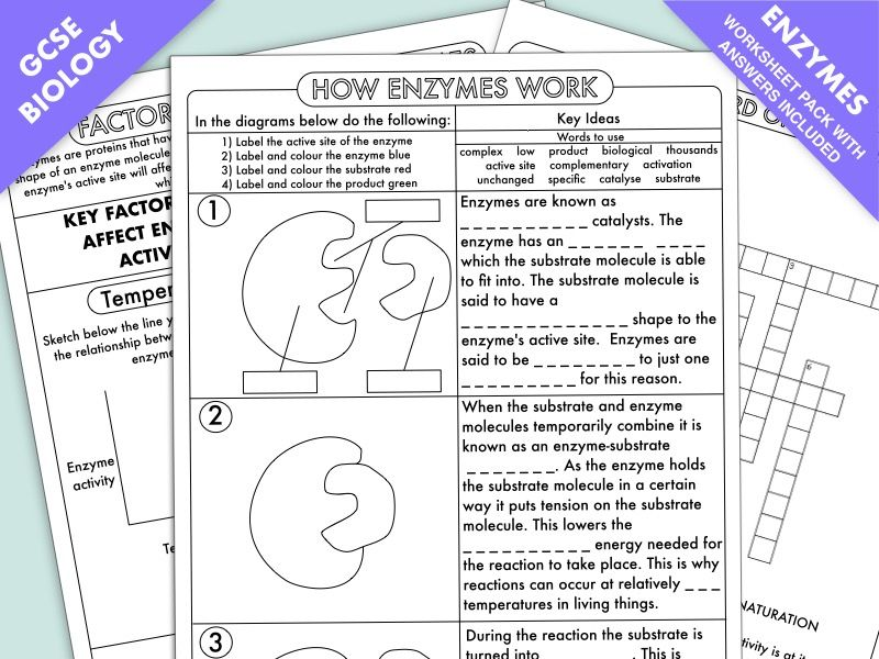 GCSE Biology Digestion Topic Resource Pack UPDATED in