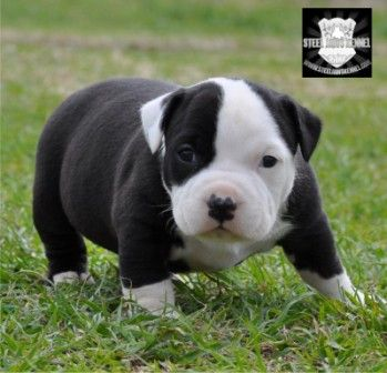 Black And Strong Bully Bully Dog Scary Dogs Dogs