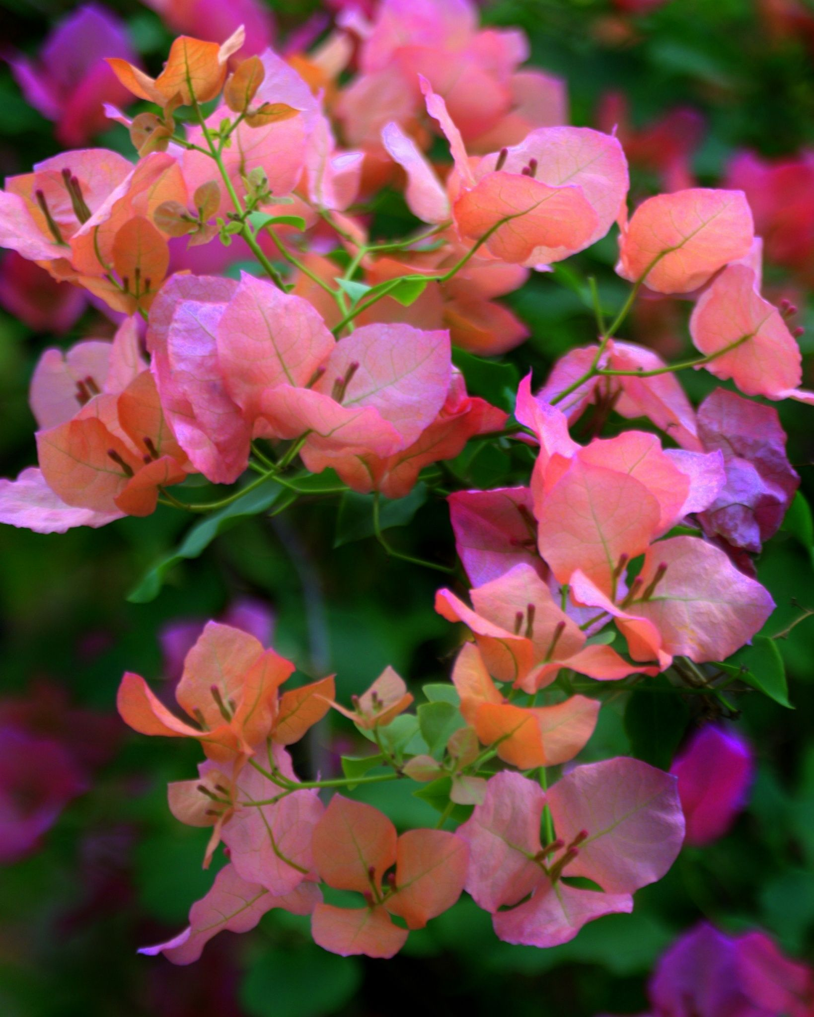 57 Amazing Beautiful Garden Ideas Inspiration And: Bougainvilla By Nate A On 500px