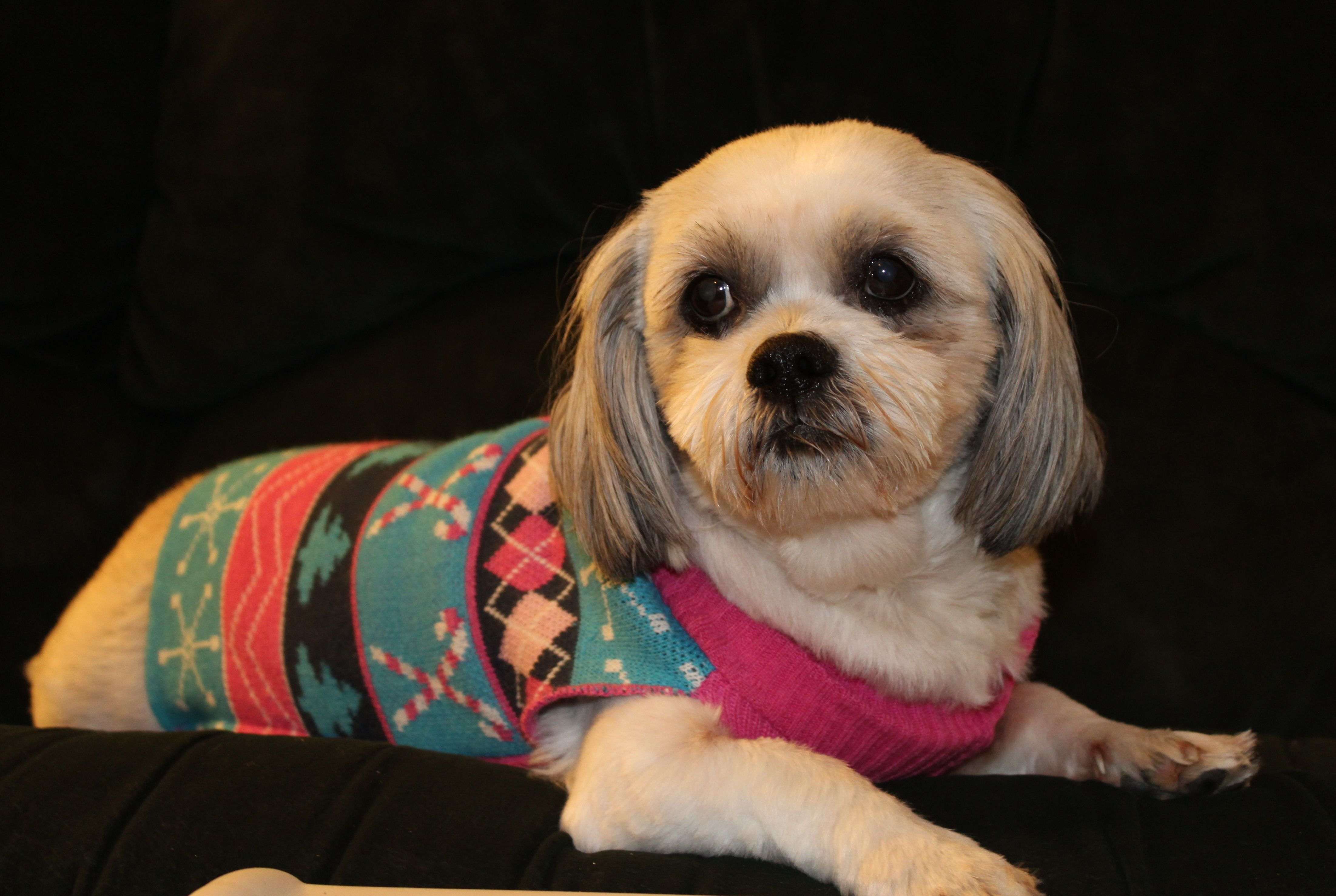 ShihPoo dog for Adoption in Pataskala, OH. ADN751777 on