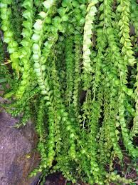 Vines Growing In The Philippines Google Search Tropical Garden Plants Hoya Plants Drought Resistant Plants
