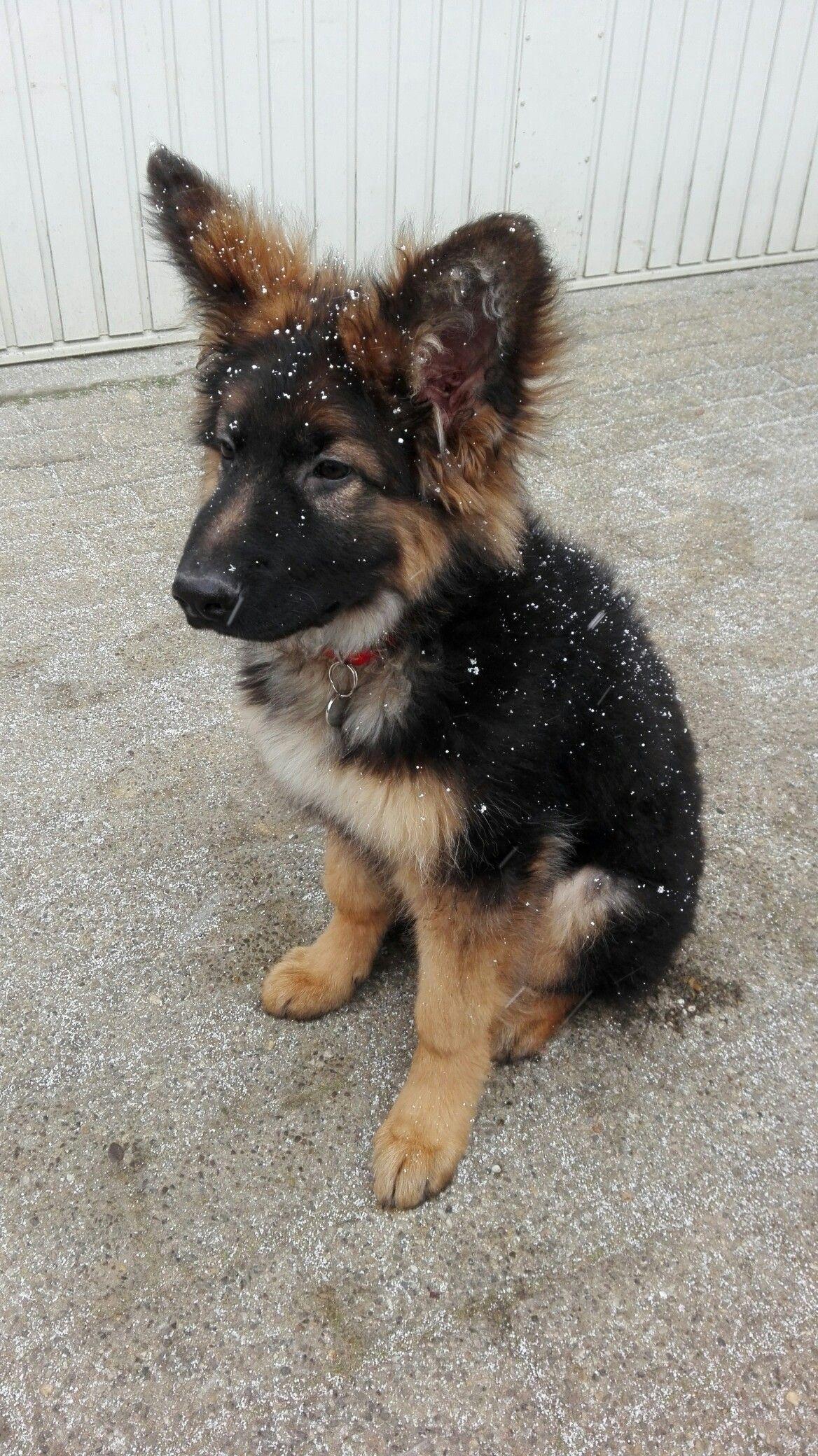 Snowy German Shepherd Puppy Love Those Ears German Shepherd