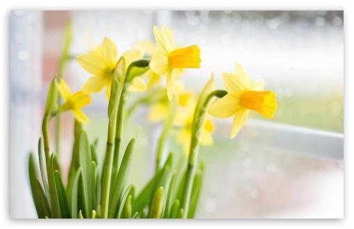 Yellow Daffodils Flowers Near Window Hd Wallpaper For 4k Uhd Widescreen Desktop Smartphone Daffodils Daffodil Flower Yellow Daffodils