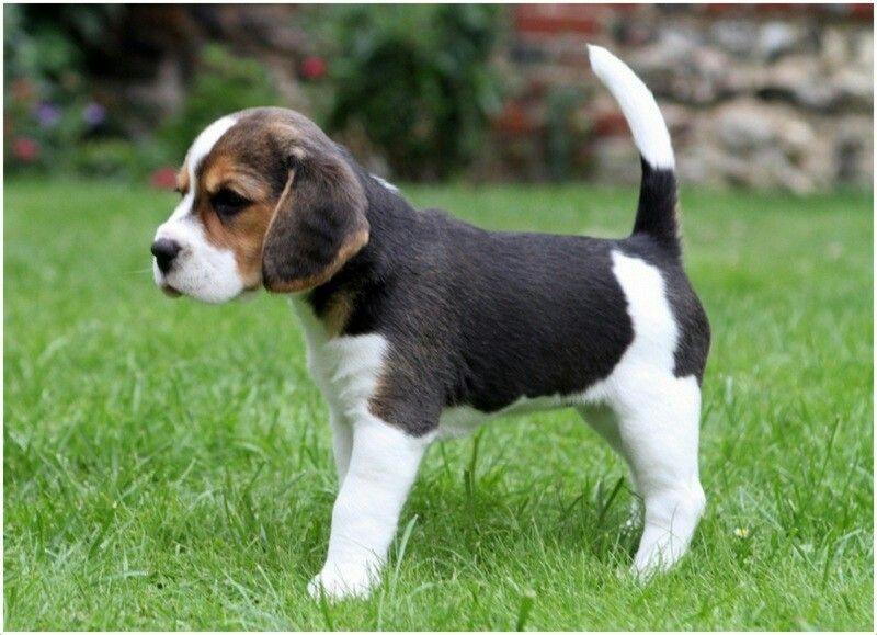 Beaglier Beagle Cavalier King Charles Spaniel Beagle Puppy