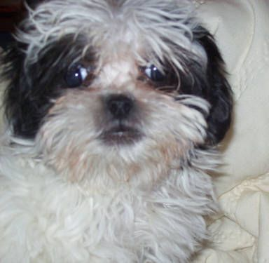 Maltese X Shih Tzi Male Puppy Puppies Dogs And Puppies Puppies