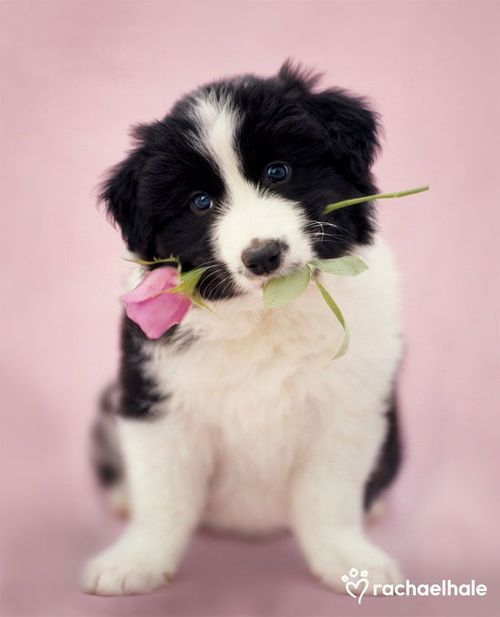 How Sweet Happy Valentine S Day Collie Puppies Cute Animals