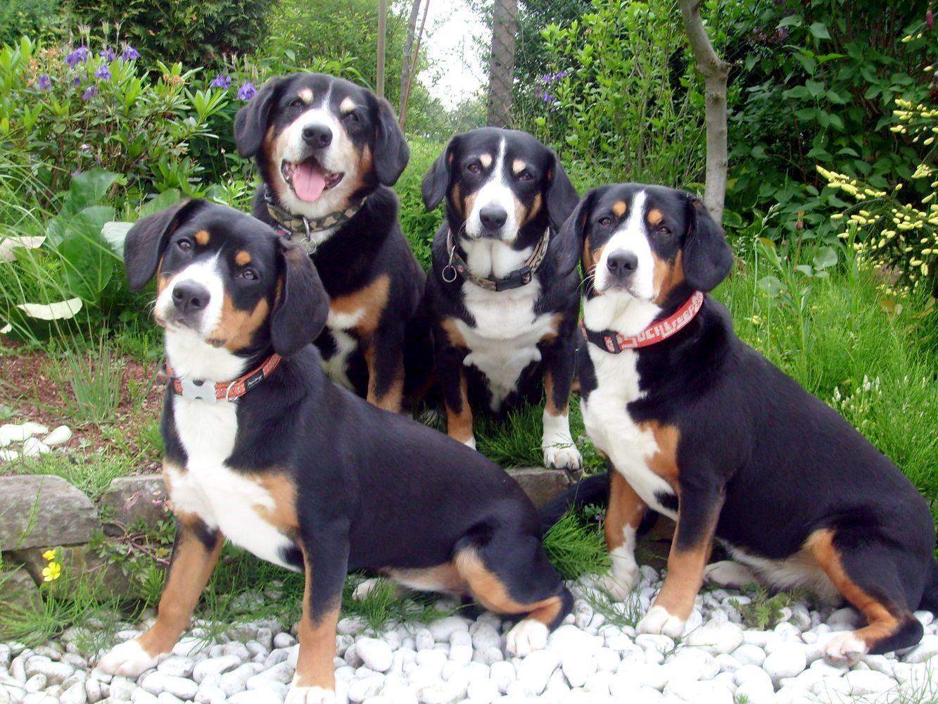 Beautiful Appenzeller Sennenhund Dogs Pictures Entlebucher