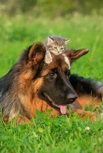 Cats Who Surprisingly Cannot Deny Their Love For Dogs