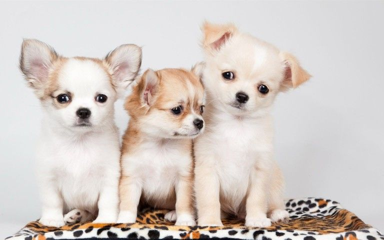 puppies wallpapers free download wallpaper 2048 1536 puppy