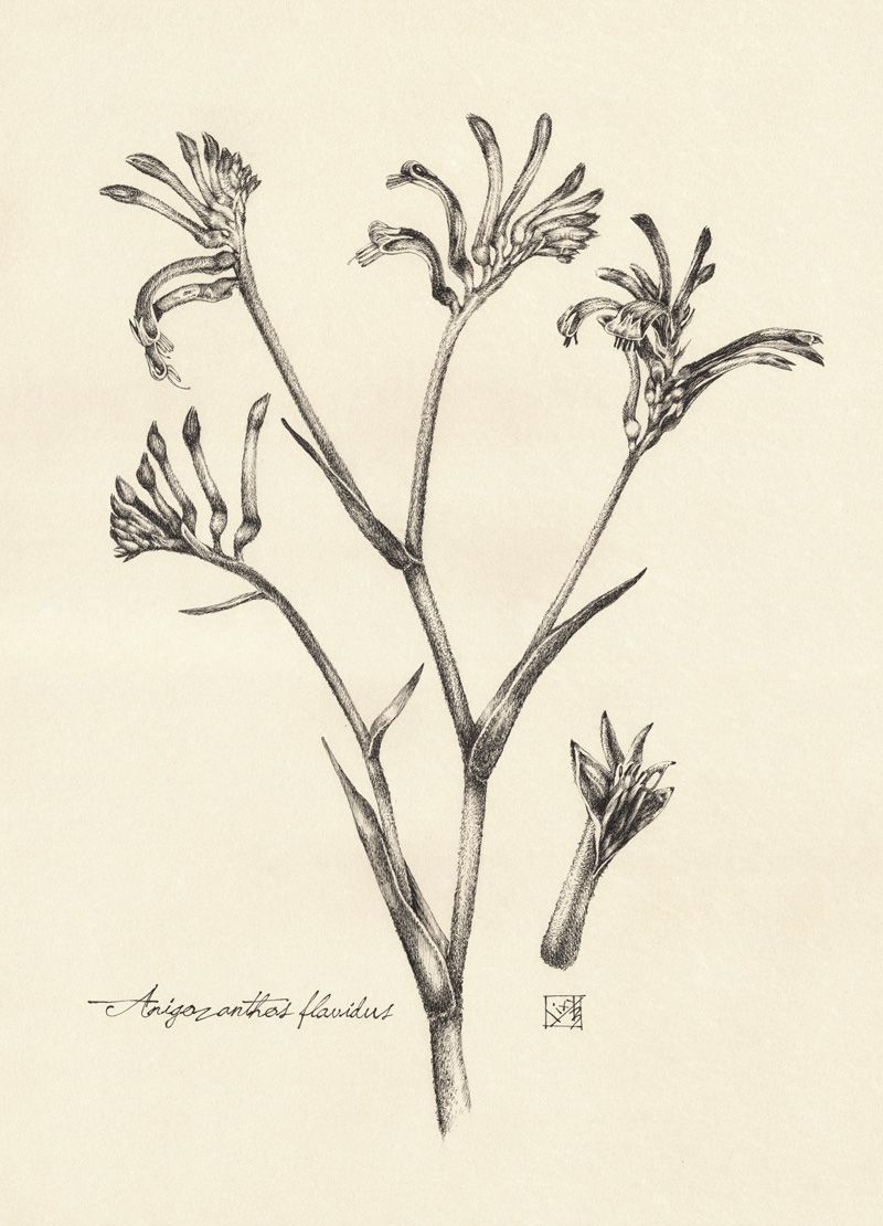 2caaf5d17 ink drawing kangaroo paw - Google Search | DIY | Plant tattoo ...