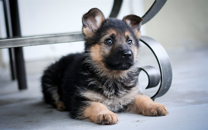 Download Wallpapers German Shepherd Small Puppy Cute Dog Pets