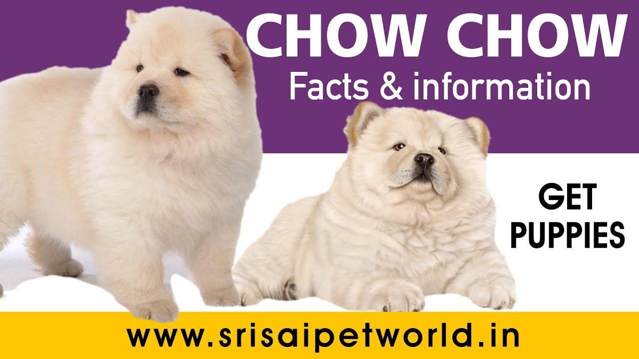Meet my chow chow named magic this is cream white