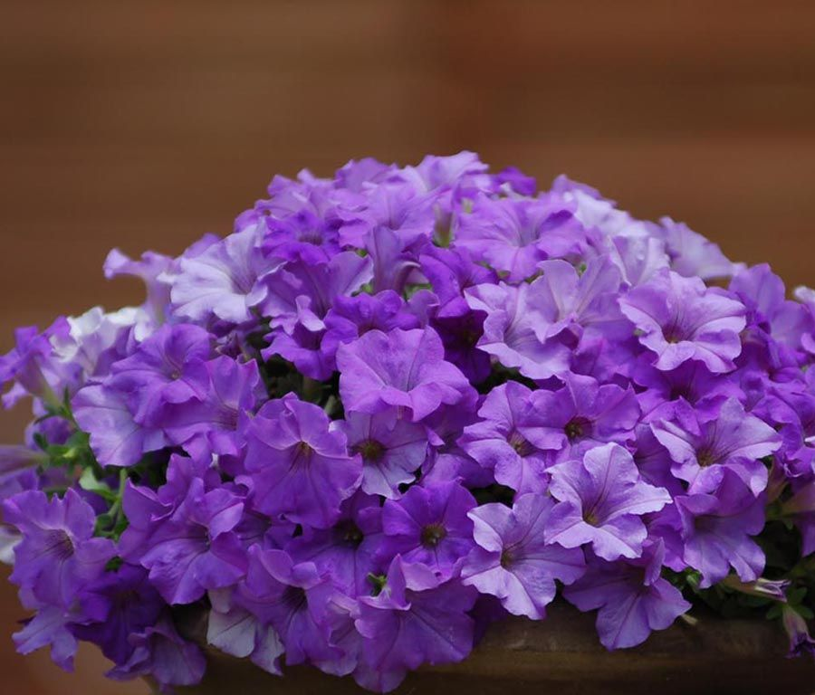 Surfinia Trailing Heavenly Blue Petunia Boeket