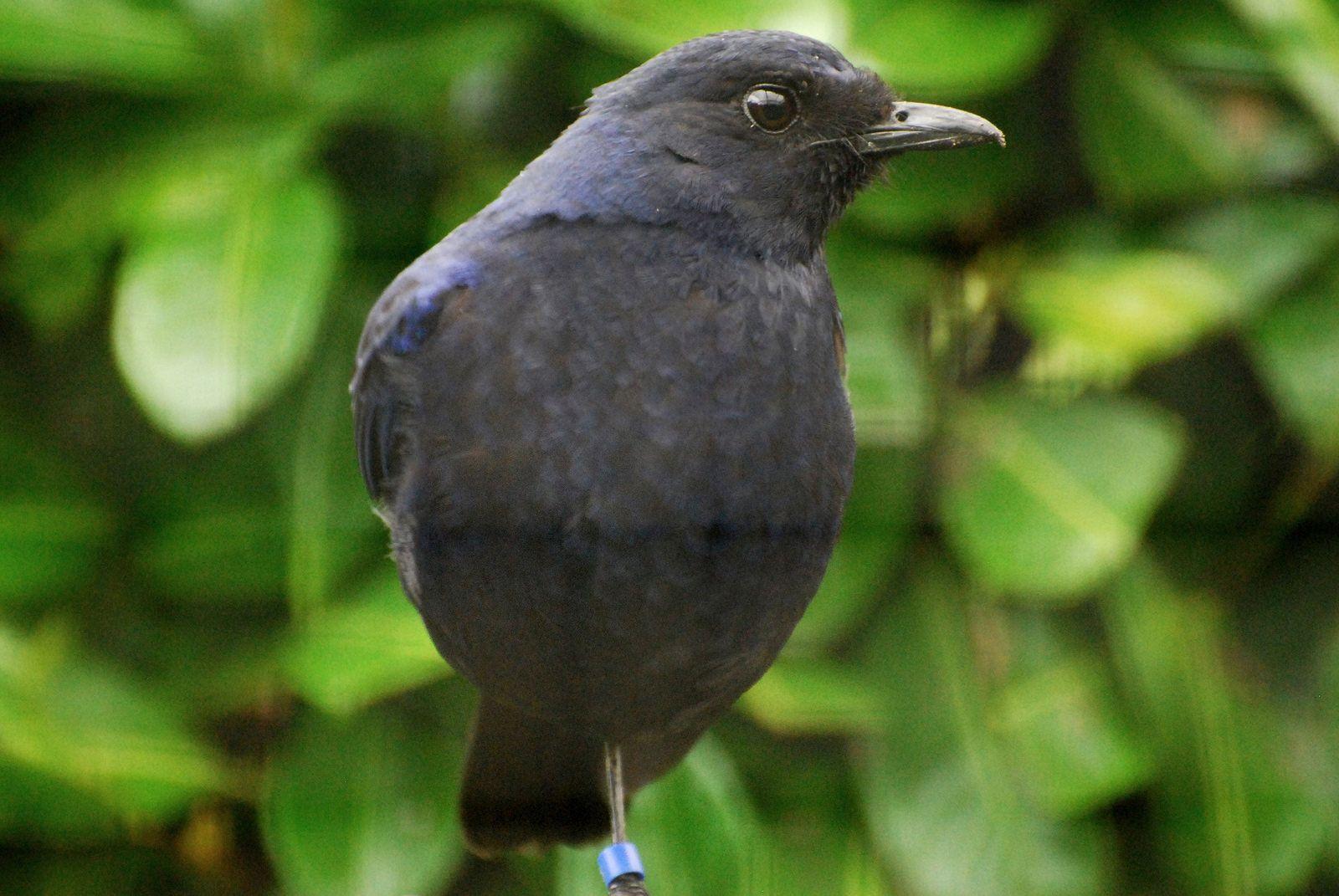 Javan Whistling-thrush (Myophonius glaucius) | by writhedhornbill