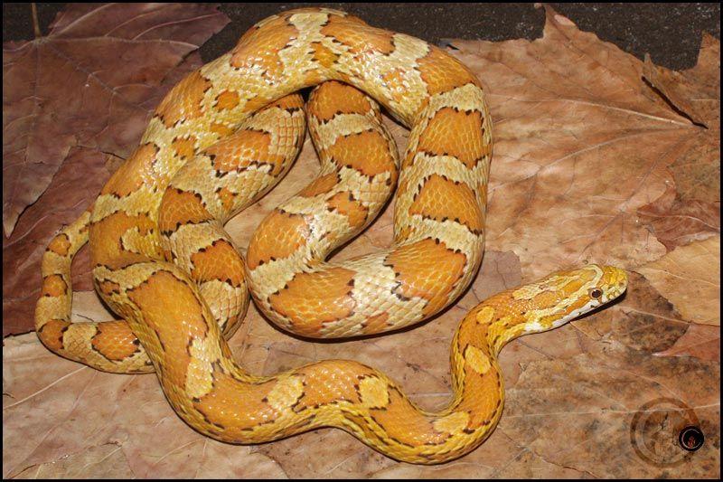 Ultramel Buf Reptilien Schlangen Amphibien