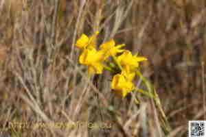 Plantas. Foto de junquillo de olor o narciso de rio. Narcissus jonquilla