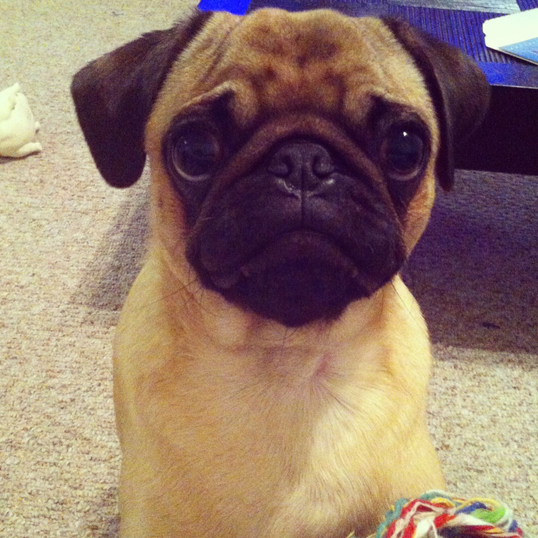 Sad Pug Face Pugs