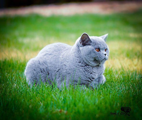 British Empire Cats Sirs Dames Sirs British Shorthair Kittens British Shorthair Cats Cats