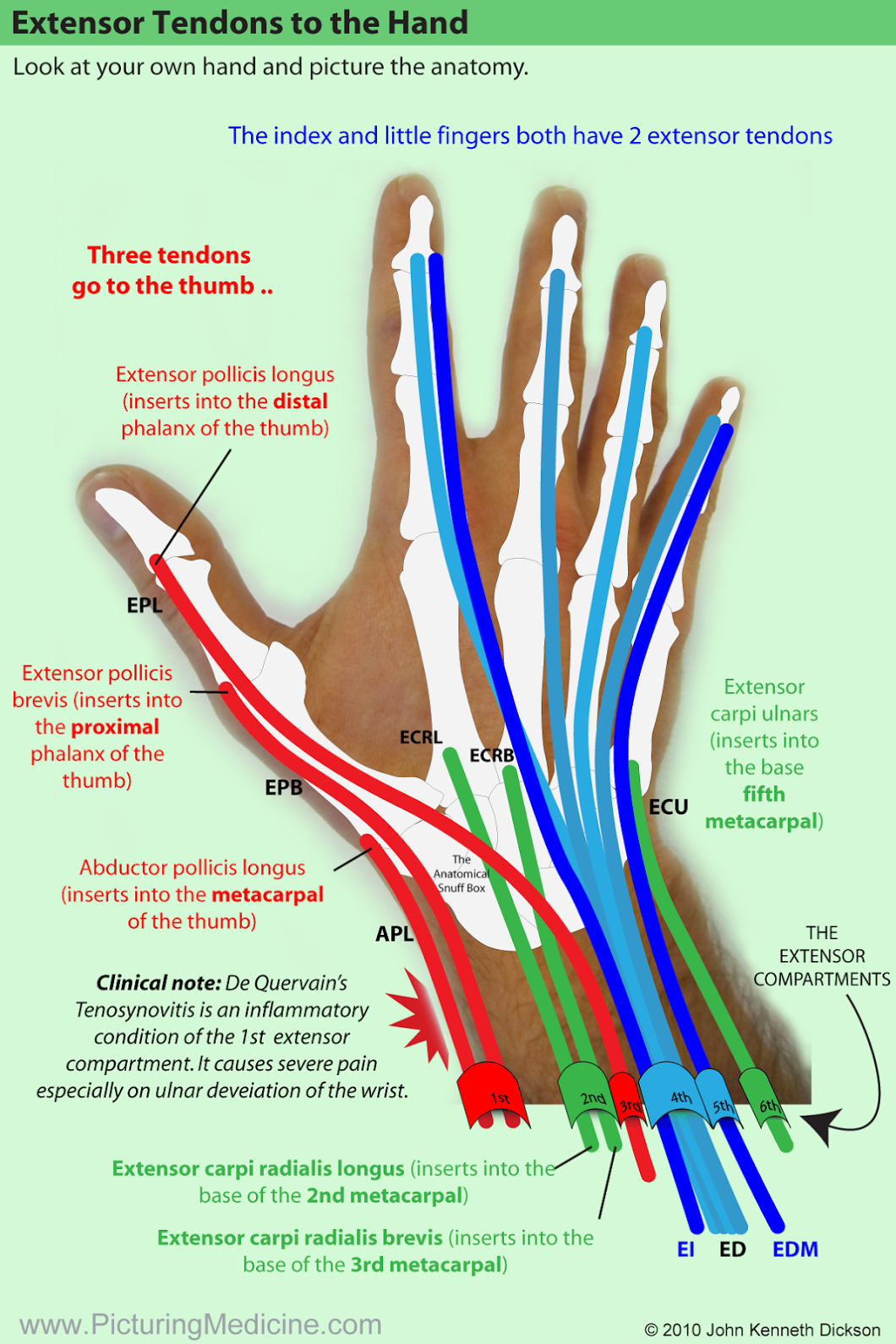 The Extensor Tendons. Try to recognise the patterns (highlight using ...