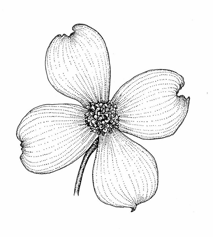 ca7b0e2ce dogwood flower drawing - Google Search | nature | Dogwood flower ...