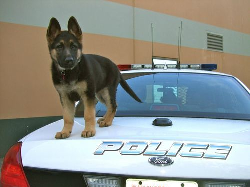 Cutest Police Rookie Ever With Images Dogs Cute Puppies Puppies