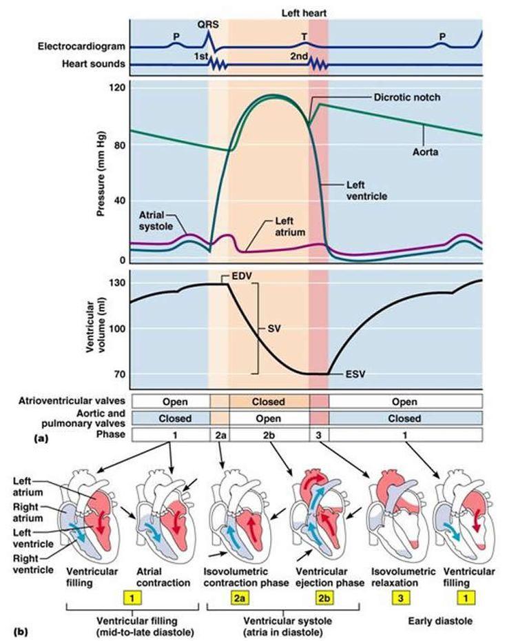 Wiggers Diagram Cardiac Cycle Manual Guide