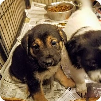 Chicago Il German Shepherd Dog Collie Mix Meet Brando A Puppy For Adoption German Shepherd Dogs Shepherd Dog Dog Mixes