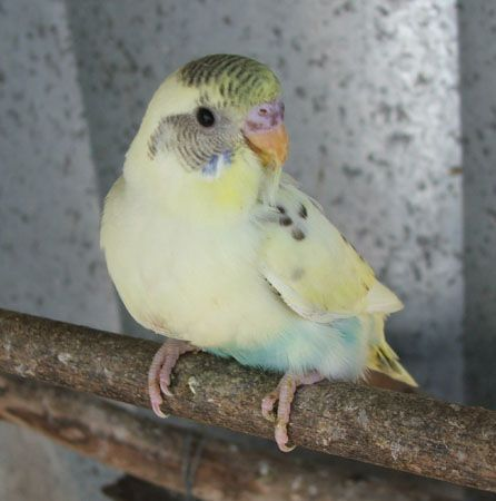 budgie, looks just like him...awe.. Budgies, Baby budgies