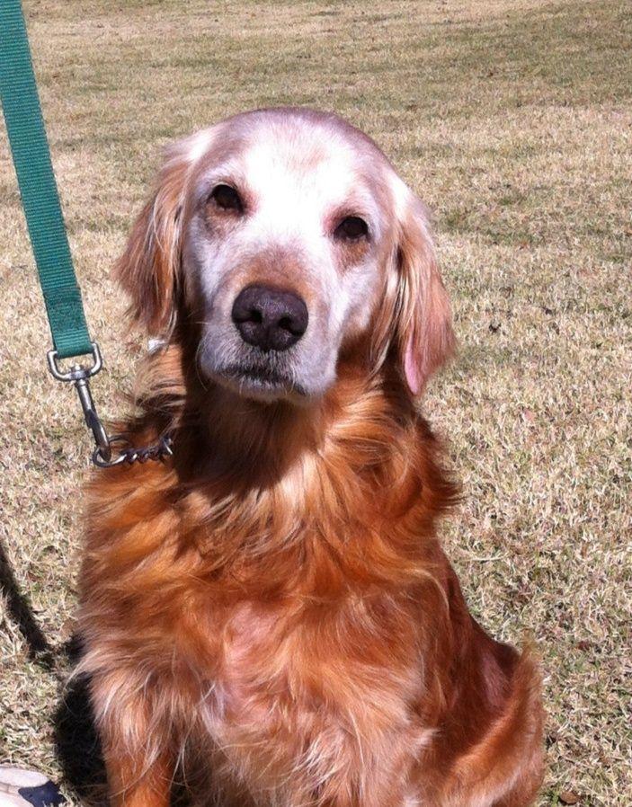I Found Mickey Tulsa On Golden Retriever Rescue Pet Adoption
