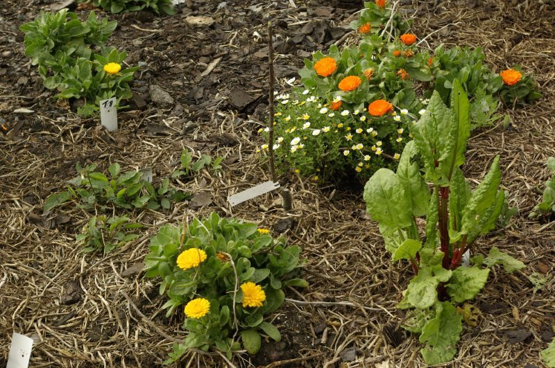 By Heather Rhoades Companion Vegetable Plants Are Plants That Can Help Each  Other When Planted Near