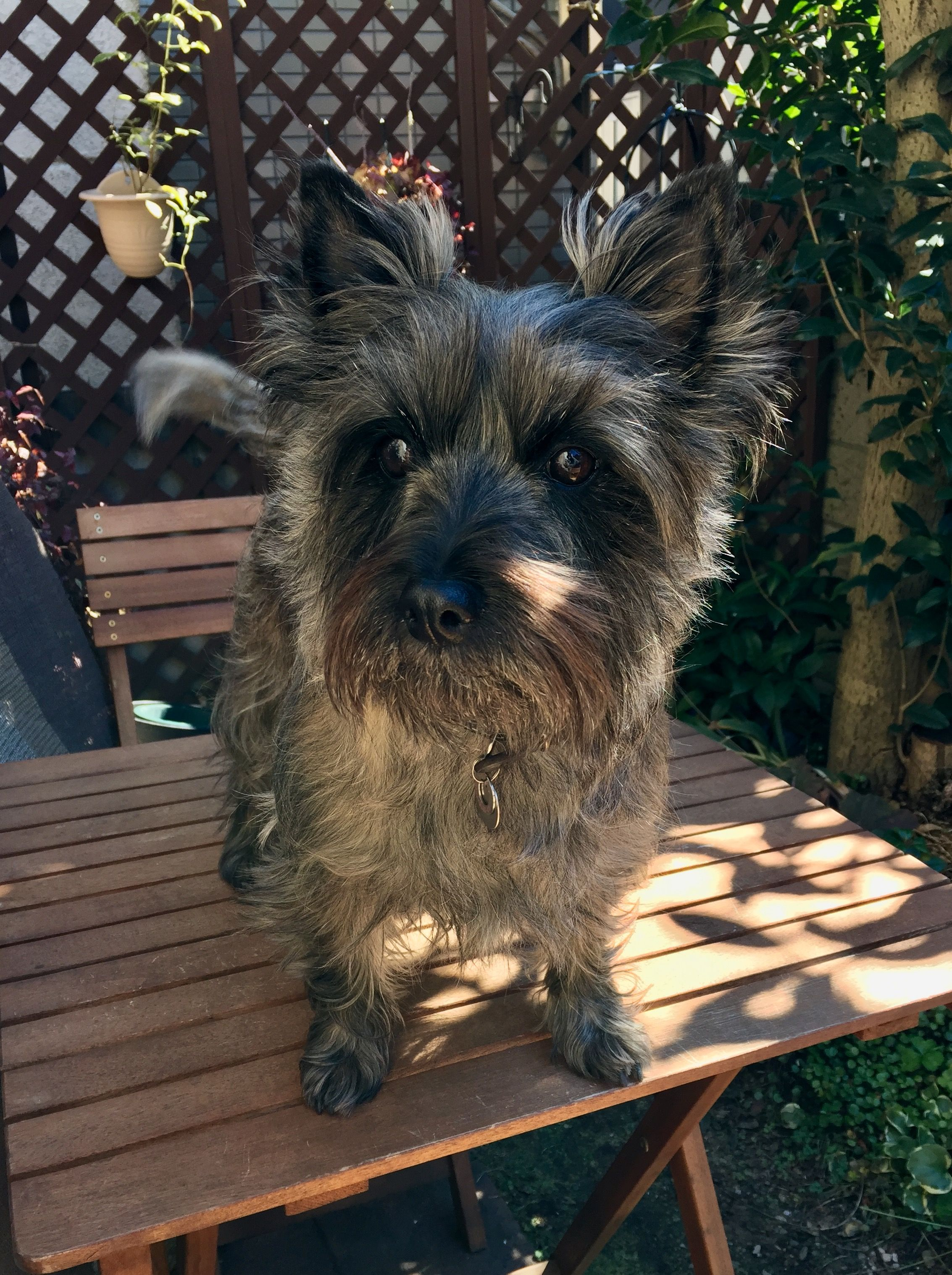 Pin By Martha Watson On Cairn Crazy Cairn Terrier Terrier Cairn