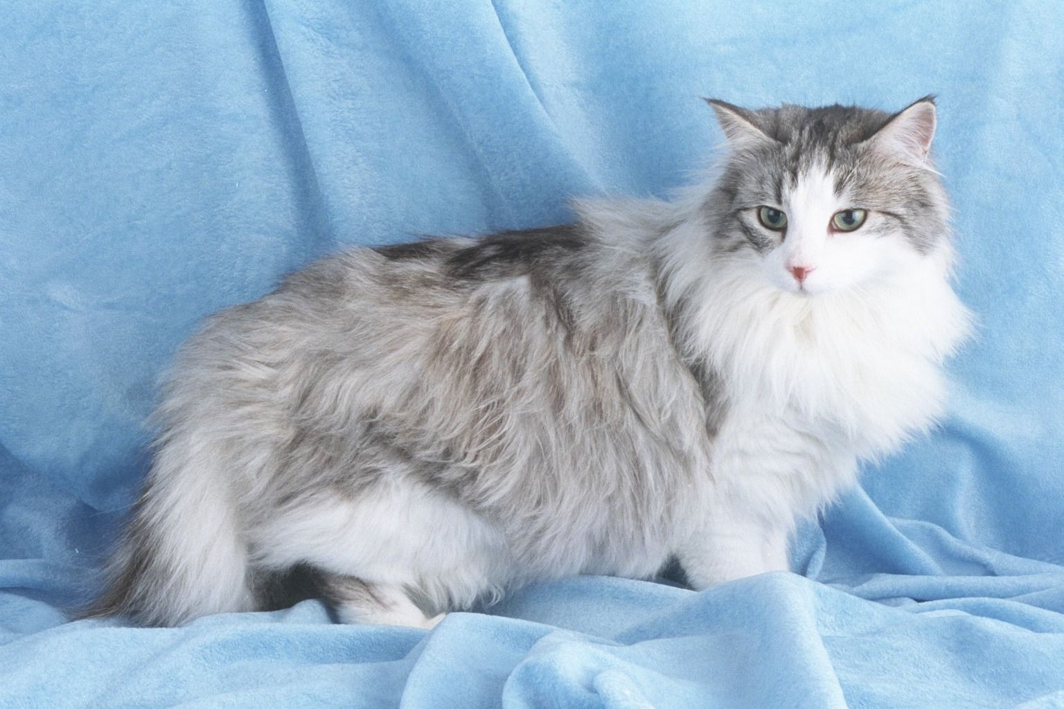 Long Haired Domestic Cat Chat Selection Naturelle Norvegienne