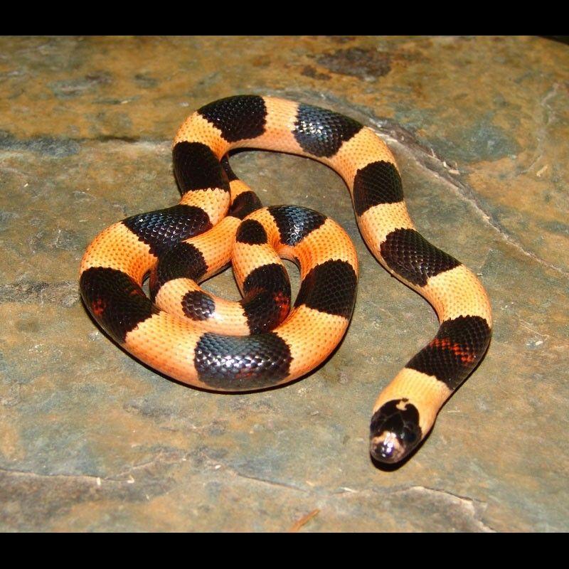 Apricot Pueblan Milk Snake Halloween Phase Lampropeltis Triangulum Campbelli Milk Snake Pet Snake Snake