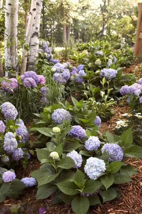Hydrangea Macrophylla Endless Summer The Original Hortensias Cultivar Jardines