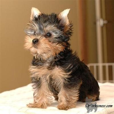 Approximate Weight Of A Full Grown Yorkie Yorkshire Terriers Are A