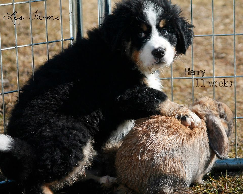 Henry Our Bernese Mountain Dog With Our Holland Lop Bunny