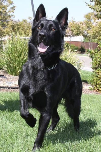 German Shepherd (With images) Black german shepherd dog