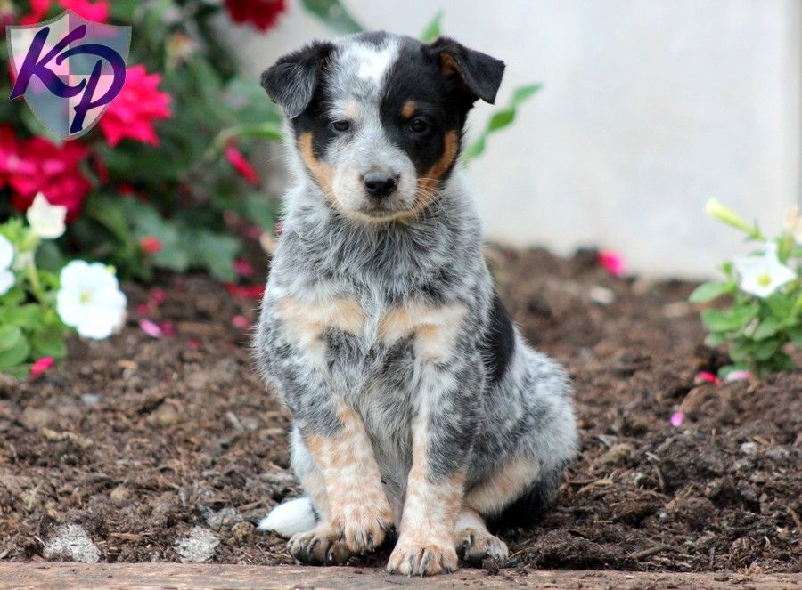 Puppy Finder Find Buy A Dog Today By Using Our Petfinder With Images Australian Cattle Dog Australian Cattle Dog Puppy Puppy Finder