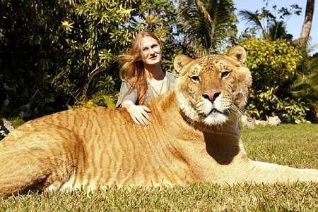 A real liger, which is the result of breeding a male lion