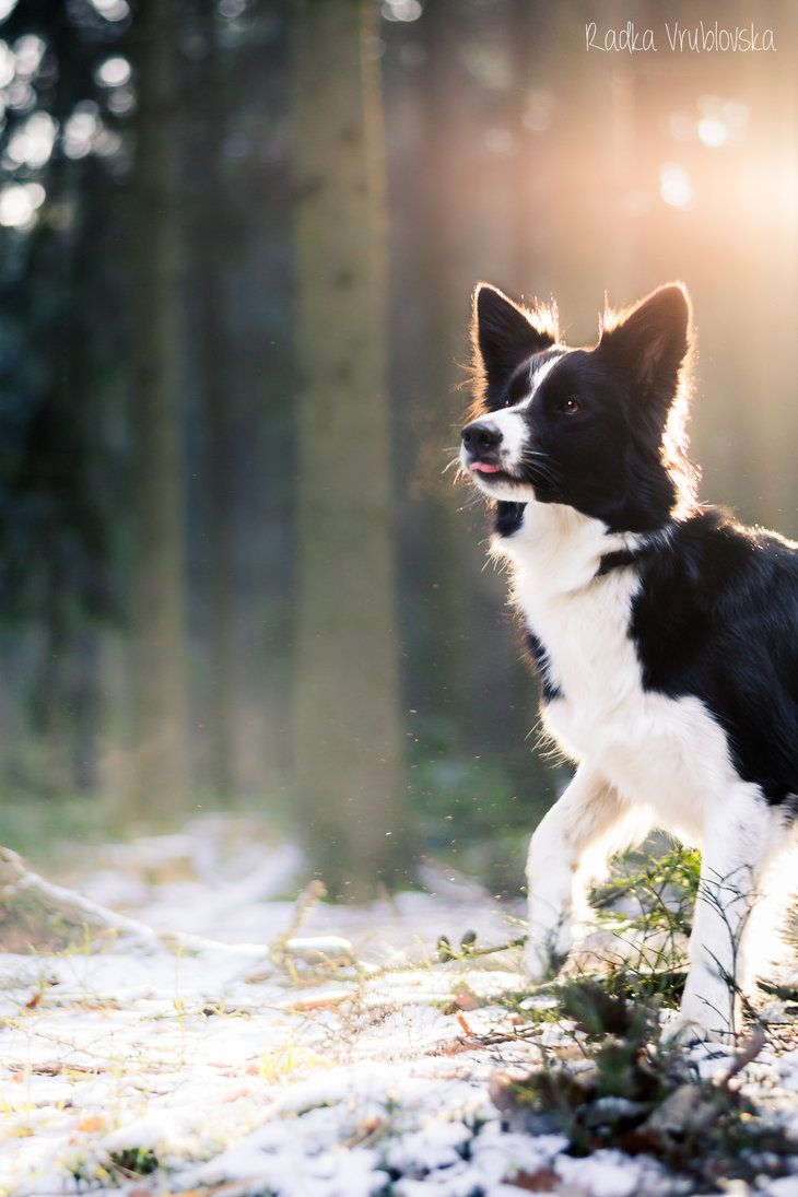 Border Collie Collie Dog Border Collie Dog Collie Puppies