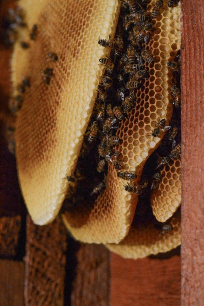 Honey Bee Extraction Via Wayward Spark Other Bee